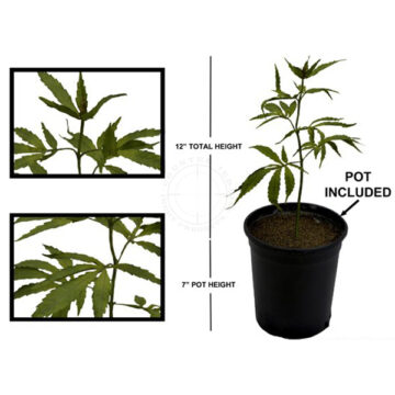 Marijuana Plant - Simulated Training Aid